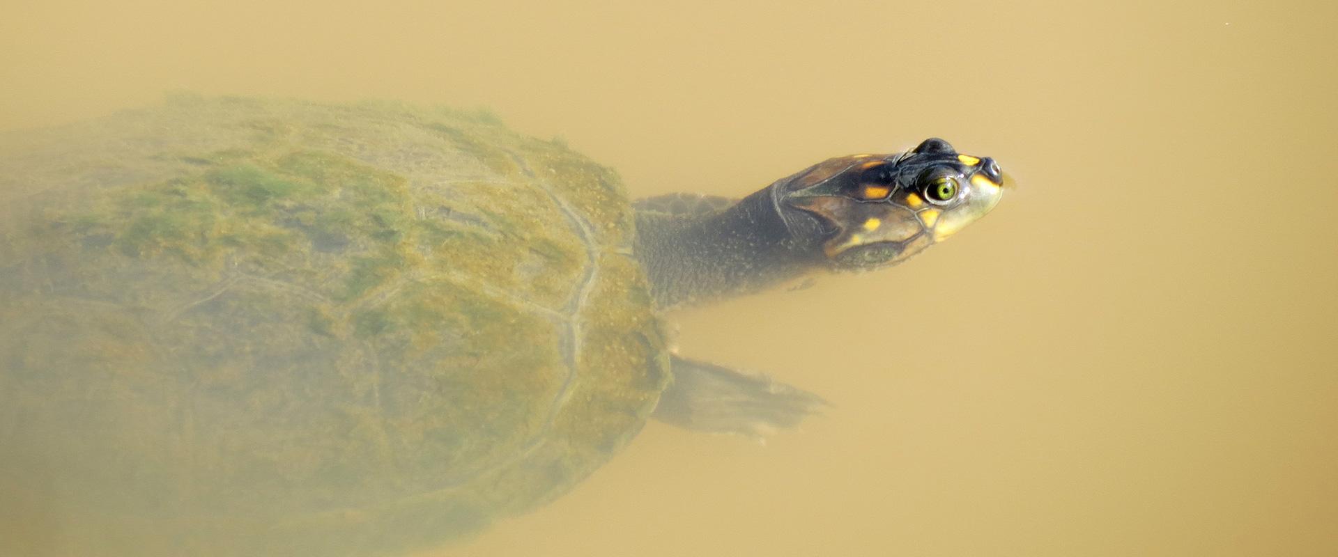 Amazon Turtle Sani Lodge