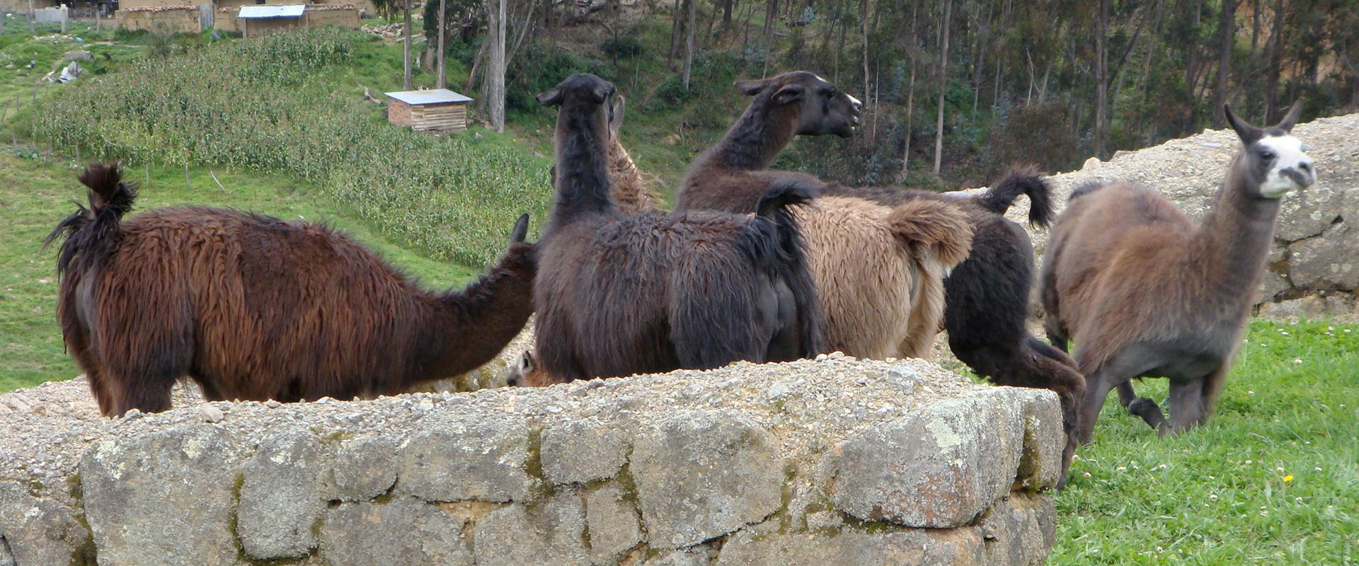 Cajas llamas Andes Wildlife