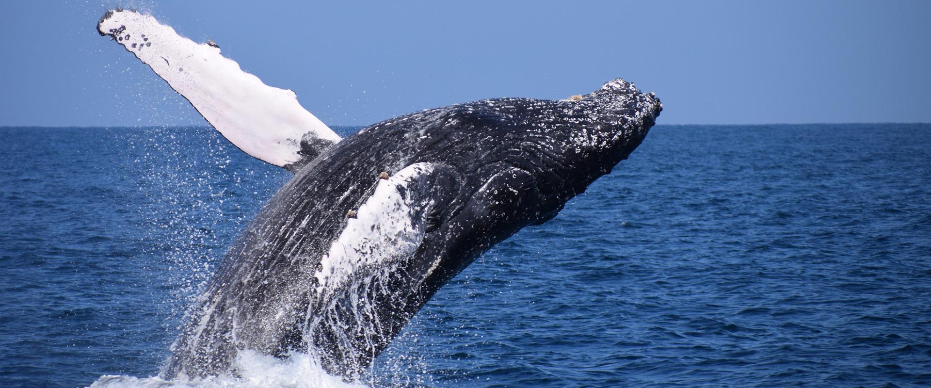 Ecuador Whale