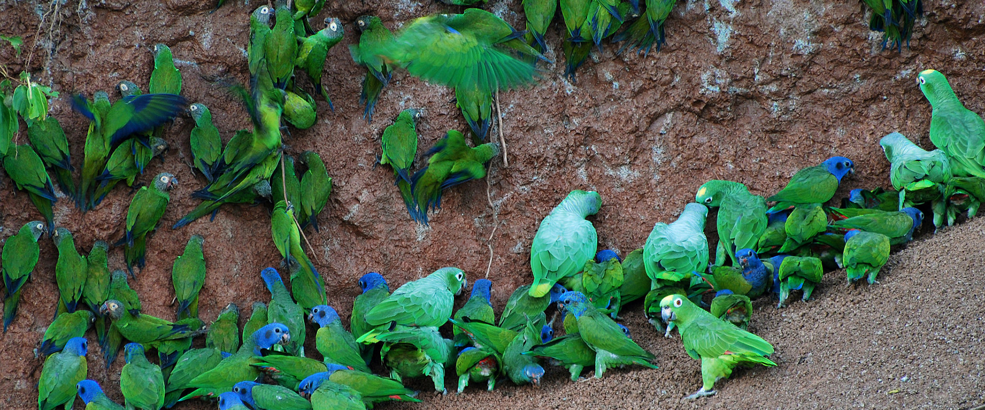 Parrot Licks Yasuni Ecuador