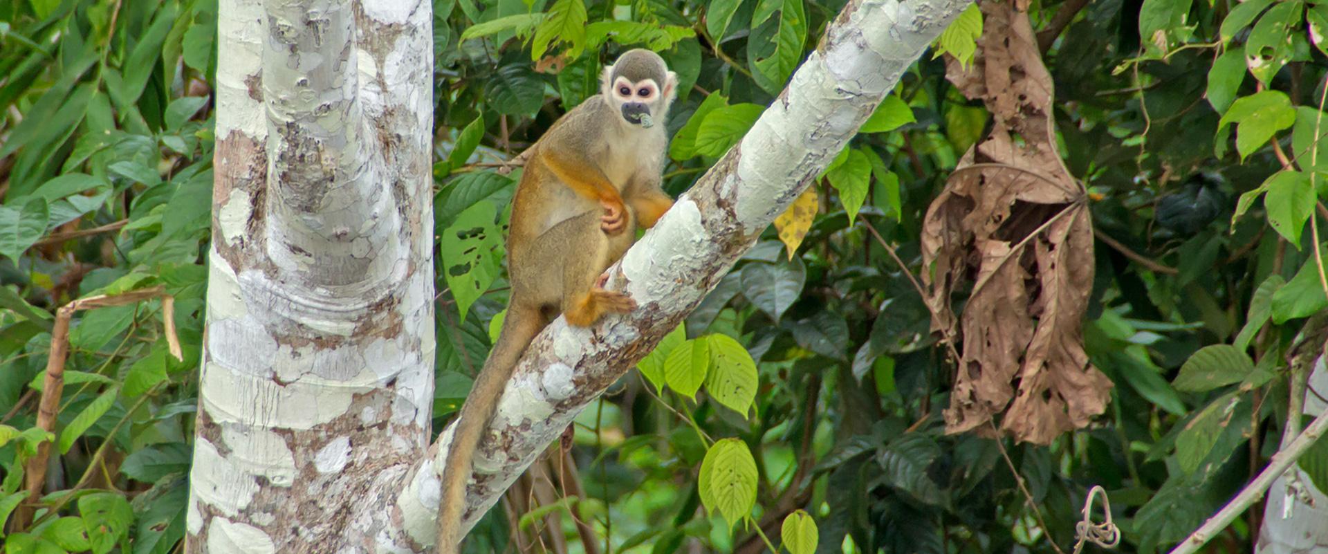 Squirrel Monkey Amazon Ecuador Tours