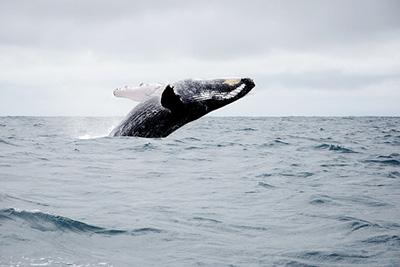 Whalewatching Tour Ecuador